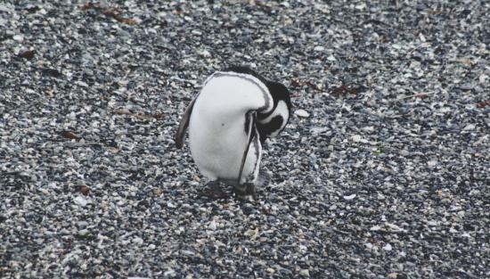 pinguino 4
